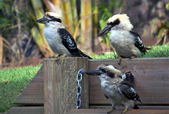 Kookaburras happy on a fence