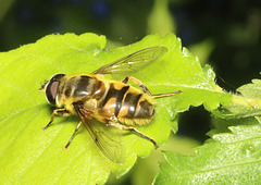 HoverflyIMG 2695