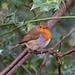 Robin (43)
