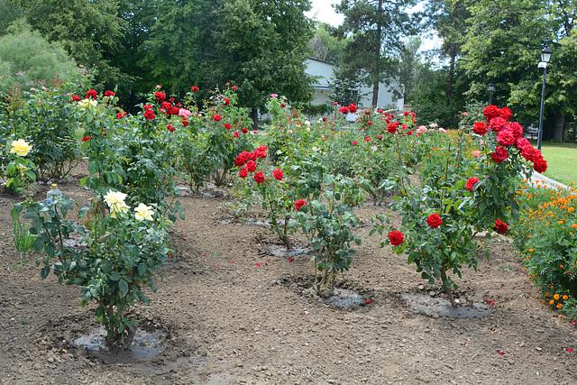 "Измаил, Розы в саду ""Малой Мечети"" / Izmail, Roses in the garden of the ""Small Mosque"""