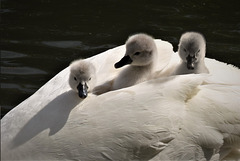 Mothers Day!!!   Three cygnets and their mother!
