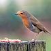 Robin (45)