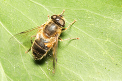 IMG 2845Hoverfly