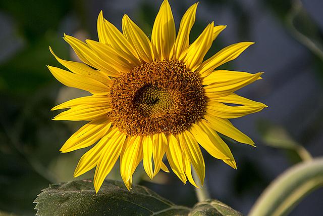 20150809 8470VRAw [D~RI] Sonnenblume, Rinteln