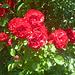 Rosen in meinem Garten - rozoj en mia ĝardeno
