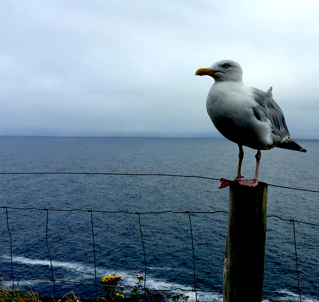 seagull fence