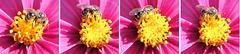 Hard work for Bee Maja... ©UdoSm