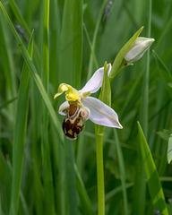 Ophrys apifera, Bienen-Ragwurz - 2017-06-01_D500_DSC1687
