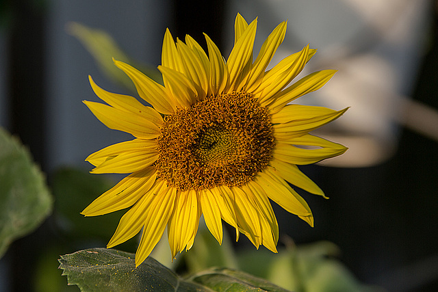 20150809 8472VRAw [D~RI] Sonnenblume, Rinteln