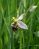 Ophrys apifera, Bienen-Ragwurz - 2017-06-01_D500_DSC1693
