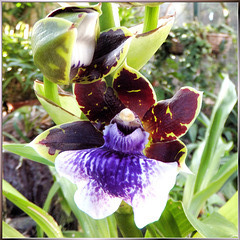 Orchid (Zygopetalum)...  ©UdoSm
