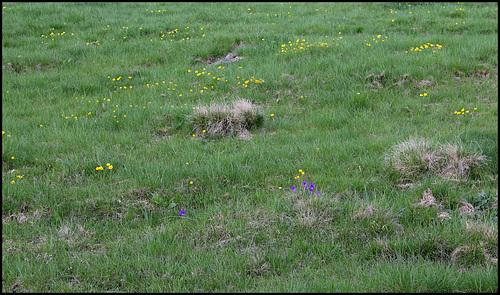 Prairie subalpine à Ranunculus auricomus et Viola lutea