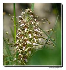 Orchis bouc (Himantoglossum hircinum) ...