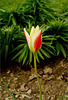 The Tulip at the Street Corner