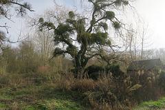 ma campagne ,pauvre arbre envahi par le gui