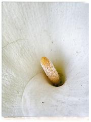 44SH A petal