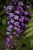 double wisteria