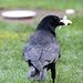 EOS 6D Peter Harriman 10 03 45 04974 Crow dpp