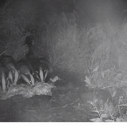 Screenshot 2021-07-14 at 00-08-25 Badger cam Cumbria Wildlife Trust