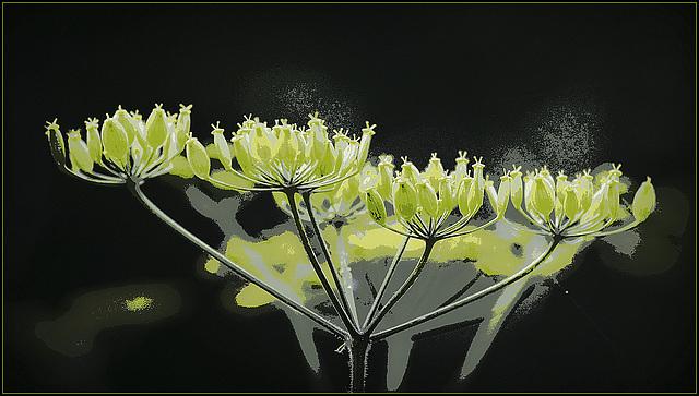 pastinaca - Pastinaca sativa - panais commun 39177418.eeee3fde.640