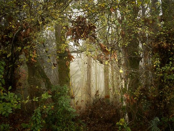 forest - fog