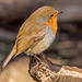Robin (55)