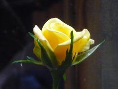 Rosa emergente