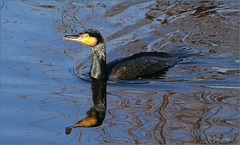 Cormorant ~ Aalscholver (Phalacrocorax) in broedkleed...