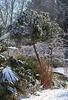 A flurry of icing sugar around my Corsican Pine