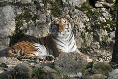 BESANCON: Citadelle: UnTigre de Sibérie (Panthera tigris altaica).01