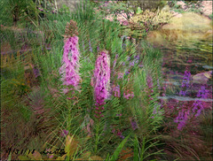 Gayfeathers (Liatris) by the pond