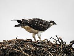 Osprey number 2 / Pandion haliaetus