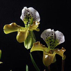 Paphiopedilum Boliviana (3)