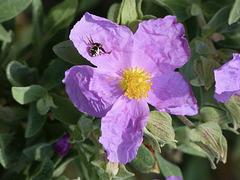 ...fleur de cyste et araignée Napoléon...