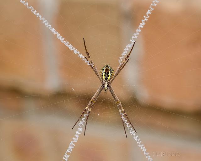 St Andrew's Cross spider underside