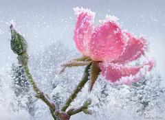 Rose d'hiver...