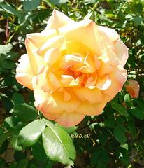 Roses d'été...