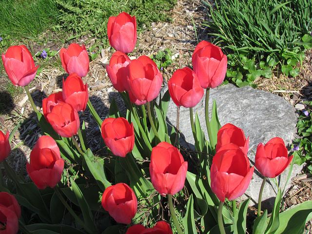 Mes tulipes sont là...