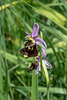 Ophrys fuciflora, Hummel-Ragwurz - 2017-06-01_D500_DSC1720