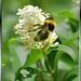 Hummel. Bumblebee. Bourdon. ©UdoSm