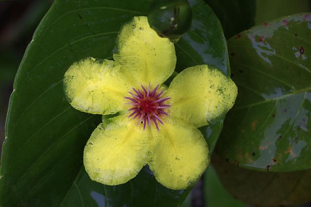 Golden Guinea Tree Flower