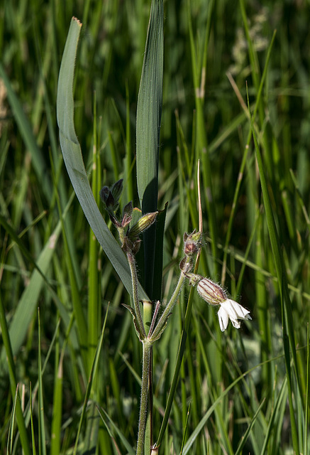 20170518 3064VRAw [A+H] Gemeines Leimkraut (Silene vulgaris), Neusiedler See