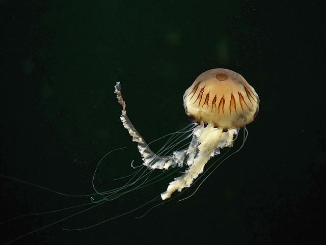 Chrysaora hysoscella; Aquarium Helgoland