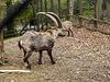 20170426 0610CPw [D~BI] Steinbock, Tierpark, Bielefeld