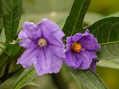 Kangaroo Apple flowers / Solanum aviculare (?)