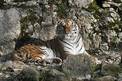 BESANCON: Citadelle: UnTigre de Sibérie (Panthera tigris altaica).02