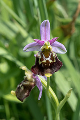 Ophrys fuciflora, Hummel-Ragwurz - 2017-06-01_D500_DSC1723