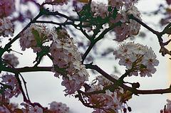 Ornamental Pear Tree