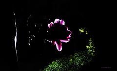 ... die Schöne der Nacht