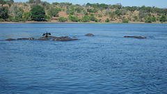 Cormorant on a Hippopotamus